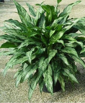 Target: Indoor Faux Chinese Evergreen Plant In Square ... |Wholesale Silk Plants Chinese Evergreen House